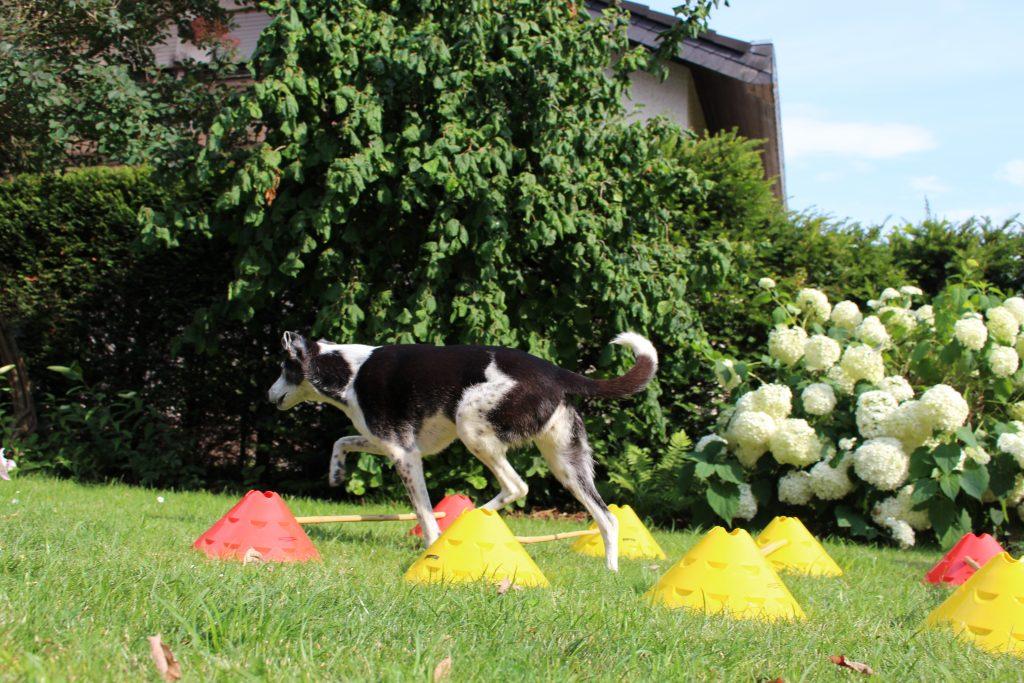 Hund_Cavaletti-Training 1